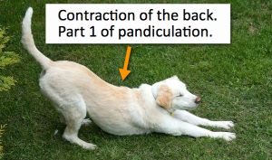 Contraction of Back=Pandiculation