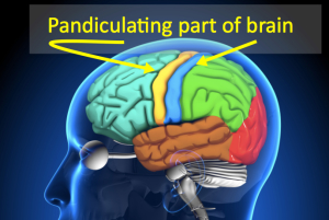 Pandiculating Part of Brain