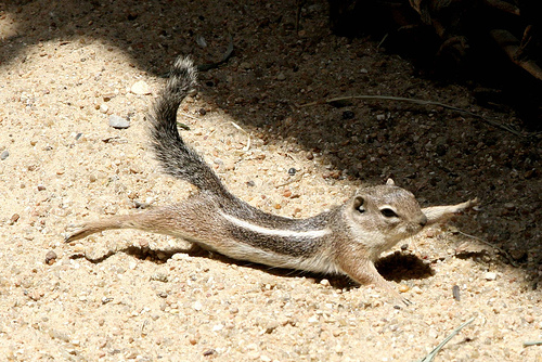 Chipmunk Pandiculating