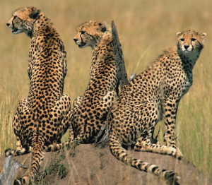 Cheetahs and Muscle Spasms