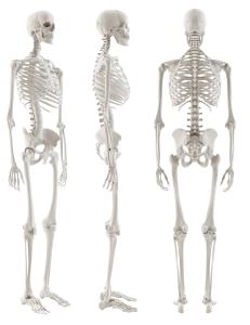 Bony Parts of Our Skeleton