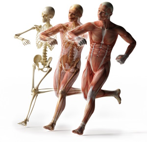 Skeleton, Muscles, Fascia
