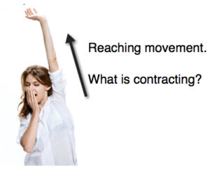 Reaching Movement Pandiculation What is Contracting