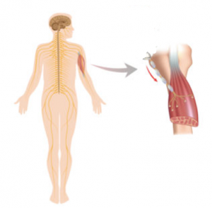 Spinal cord to muscle arm